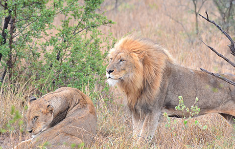 2 Lions in the Kruger National Park