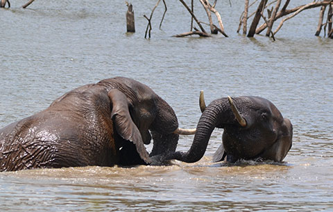 2 Elephants in the water