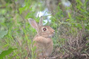 Jameson's rock rabbit